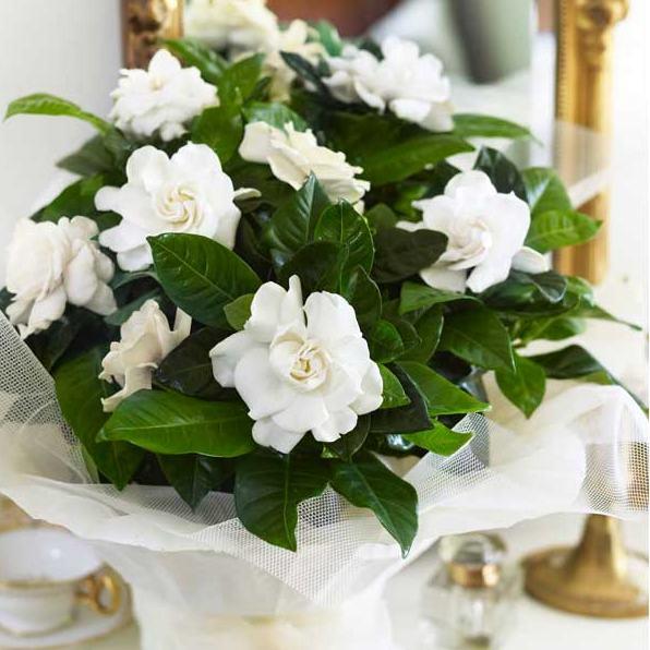 Gardenia-jasminoides-1